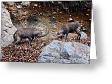 Ibex Pictures 134 Greeting Card