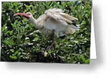 Ibis 12 Greeting Card