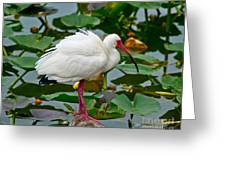 Ibis In Pond Greeting Card