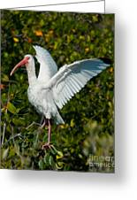 Ibis Greeting Card