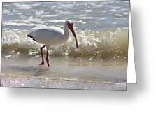 Ibis Walking The Beach Greeting Card