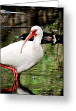 Ibis Greeting Card by Will Boutin Photos