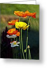 Iceland Poppies In The Sun Greeting Card