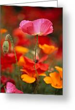 Iceland Poppies Papaver Nudicaule Greeting Card