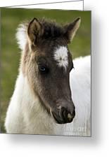 Icelandic Horse Greeting Card