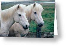 Icelandic Horses Greeting Card