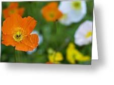 Icelandic Poppy        Papaver Nudicaule  Greeting Card