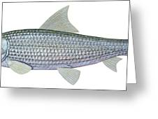Illustration Of A Bonefish Albula Greeting Card by Carlyn Iverson