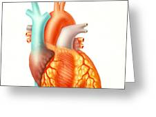 Illustration Of The Human Heart Greeting Card
