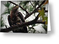 Immature American Bald Eagle Greeting Card