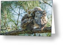 Immature Great Horned Owls Greeting Card