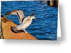 Immature Herring Gull At The Harbour Greeting Card