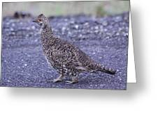 Immature Male Dusky Grouse Greeting Card