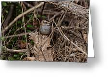 Immature White-throated Sparrow Greeting Card