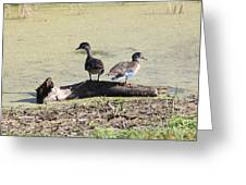 Immature Wood Ducks Greeting Card