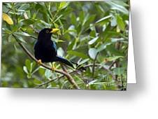 Immature Yucatan Jay Greeting Card
