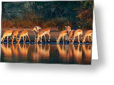 Impala Herd With Reflections In Water Greeting Card