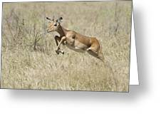 Impala Leaping Through Savanna Greeting Card