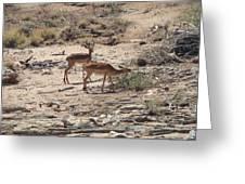 Impala Near Red River Greeting Card