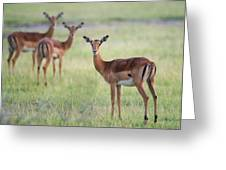 Impalas Aepyceros Melampus Petersi Greeting Card