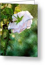 In Early Morning Light - White Rose Greeting Card