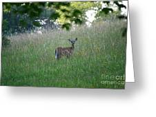 White-tailed Deer In Meadow  Greeting Card