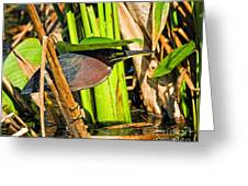 In The Shade Little Green Heron Greeting Card