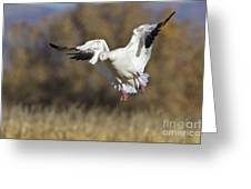 Incoming Snow Goose Greeting Card
