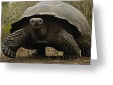 Indefatigable Island Tortoise Galapagos Greeting Card