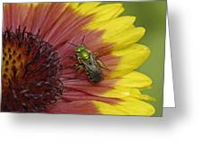 Indian Blanket And Bee Greeting Card