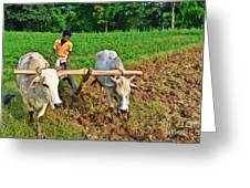 Indian Farmer Plowing With Bulls Greeting Card