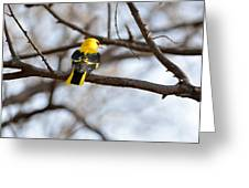 Indian Golden Oriole Greeting Card