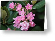Indian Hawthorn Blossoms Greeting Card