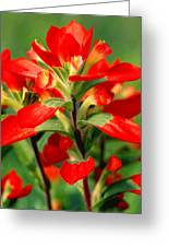 Indian Paintbrush I I Greeting Card