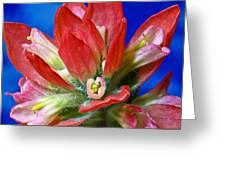 Indian Paintbrush Greeting Card