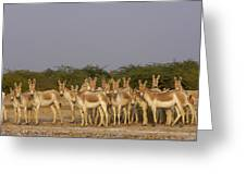Indian Wild Ass Herd Gujarat India Greeting Card