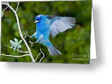 Indigo Bunting Alighting Greeting Card
