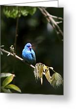Indigo Bunting - Img-428-003 Greeting Card