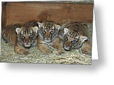 Indochinese Tiger Cubs In Sleeping Box Greeting Card