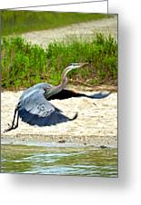 Inflight Great Blue Heron Greeting Card