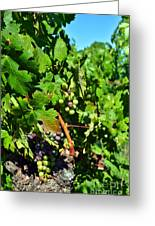 Inglenook Vineyard -10 Greeting Card