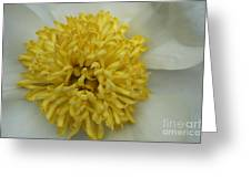 Inner Section Of A White Peony Greeting Card