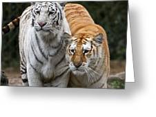 Intent Tigers Greeting Card