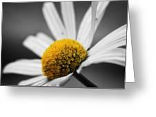 Intimate Daisy Greeting Card