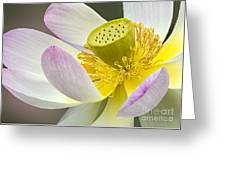 Intimate Sacred Lotus Bloom Greeting Card