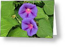 Ipomea Acuminata Morning Glory Greeting Card