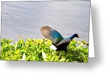 Iridescent Color Of Purple Gallinule Greeting Card