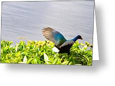 Iridescent Color Of Purple Gallinule Greeting Card