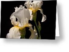 Iris Cream Greeting Card