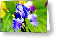 Iris In Bloom Greeting Card